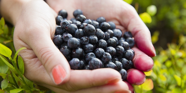 Woman holding a heap of organic and healthy blueberries in her hands. Gather blueberry in the forest.